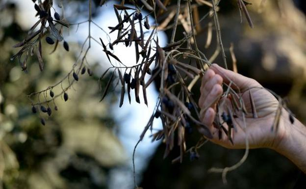 Árbol infectado por la Xylella./AFP